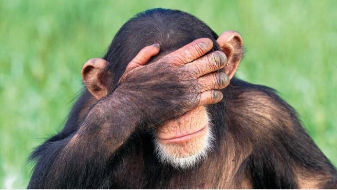 Embarrassed chimpanzee