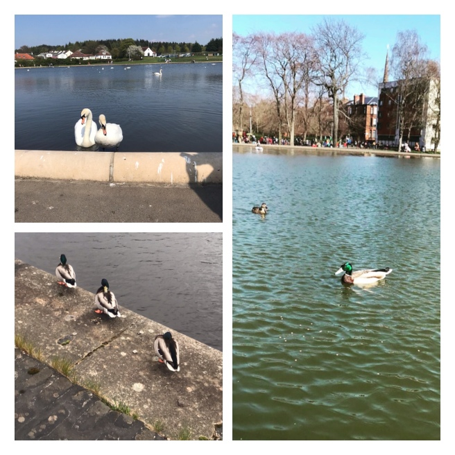 Swans & Ducks
