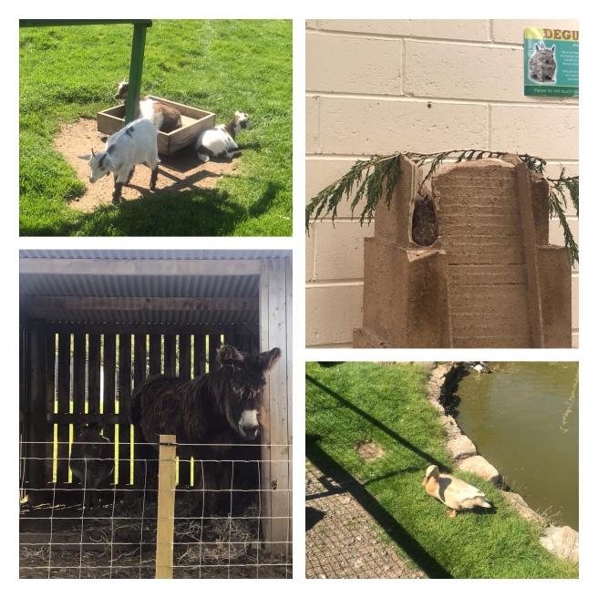 Pygmy goats, mammoth donkeys, degus,& a duck