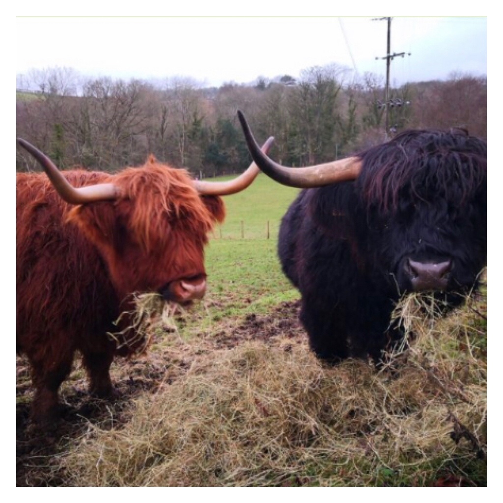 Orange and black highland cows eating straw