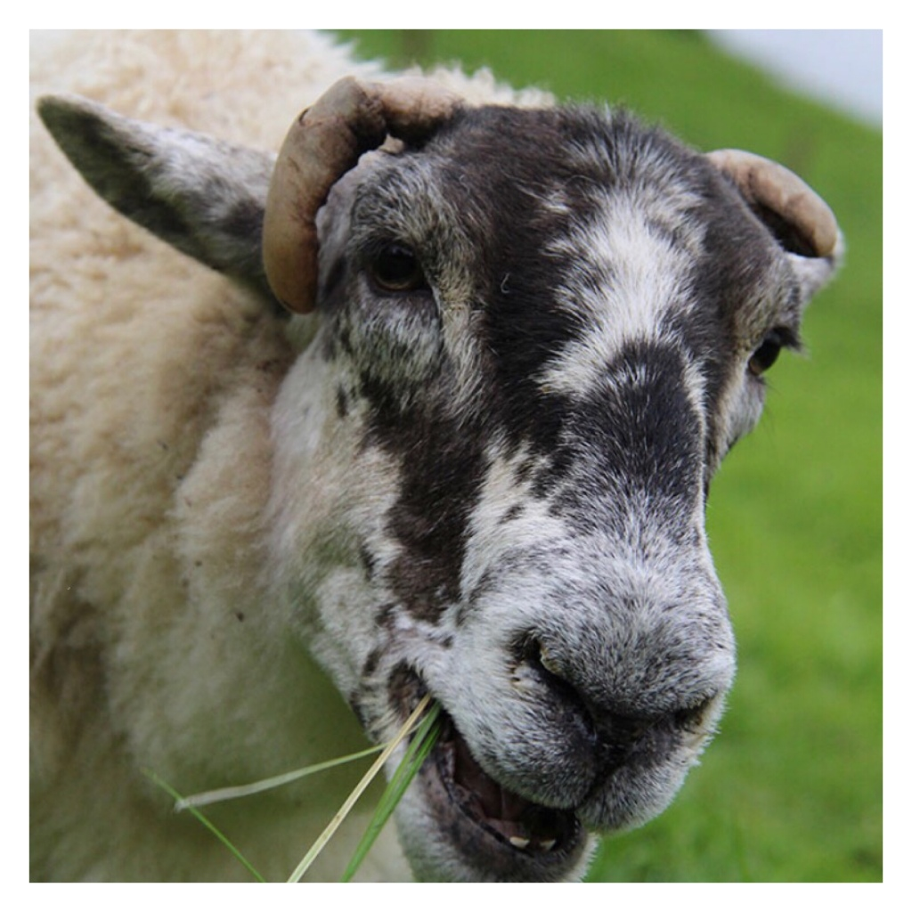 White ram with black spots on face eating grass
